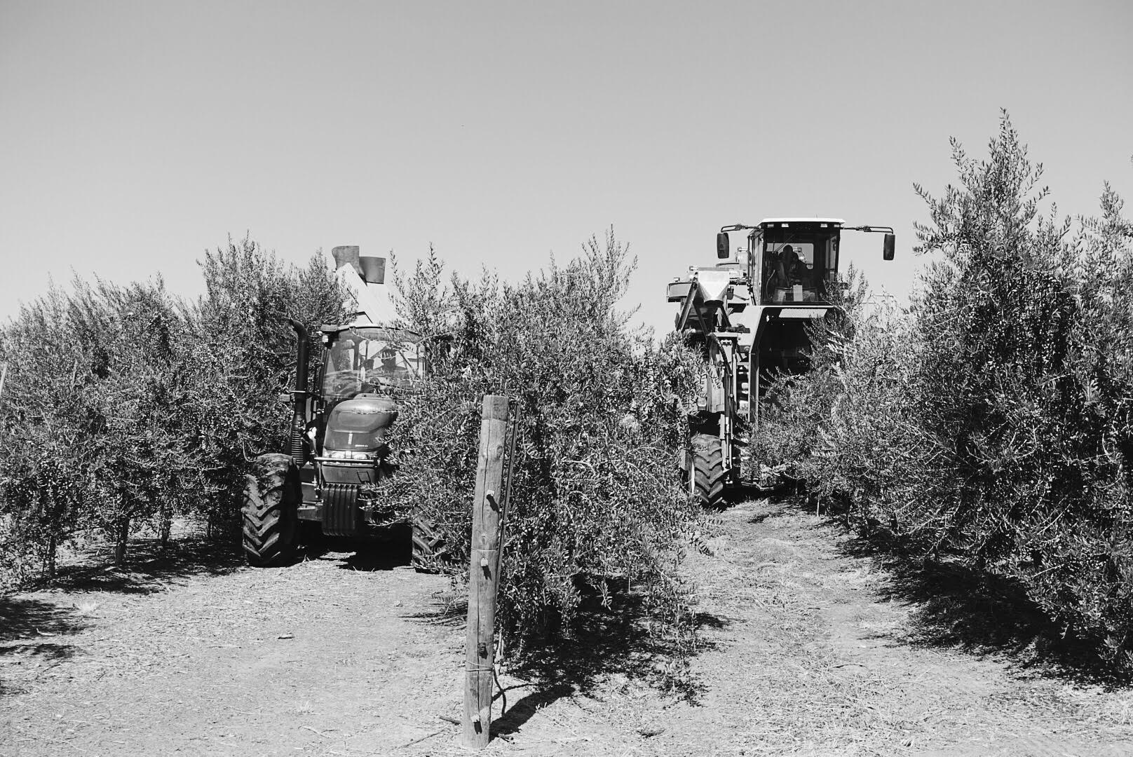 olive oil tasting with cobram estates